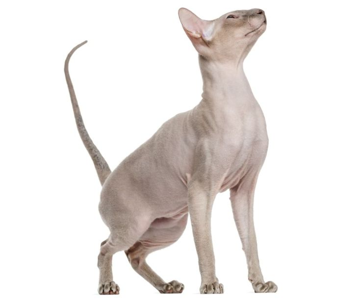 Peterbald (15 months old)