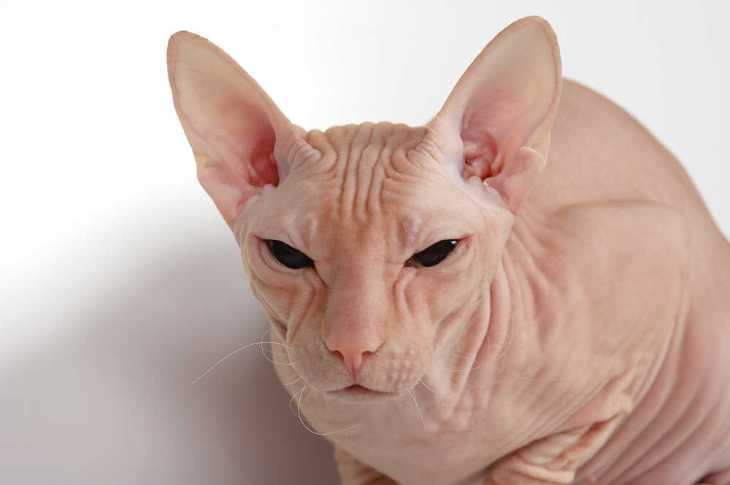 pink cat of breed of donskoy sphinx