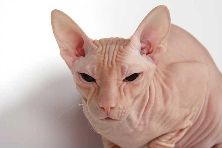 pink cat of breed of donskoy sphinx