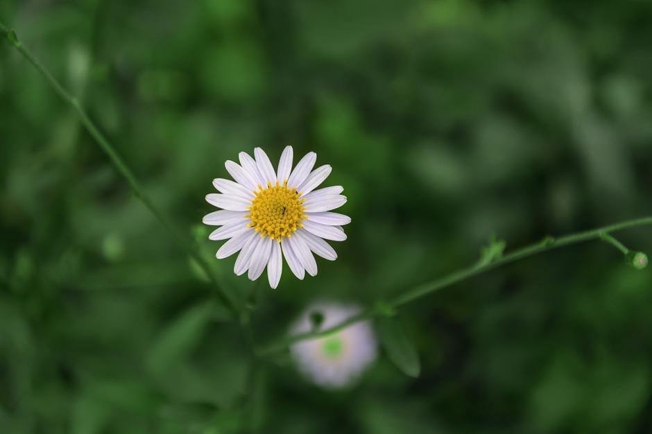 chrysanthemum-947993_1280.jpg